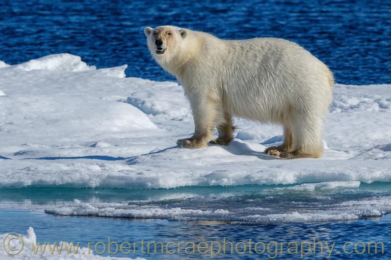 Polar Bear  on pack ice.