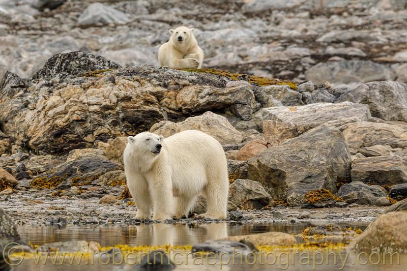 Female Polar Bear and cub.