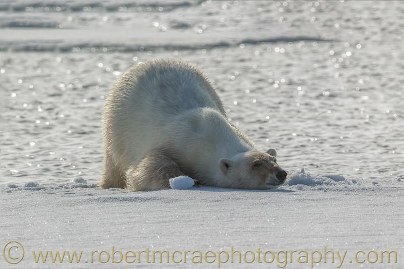 Polar Bear bathing on pack ice
