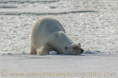 Polar Bear bathing on pack ice