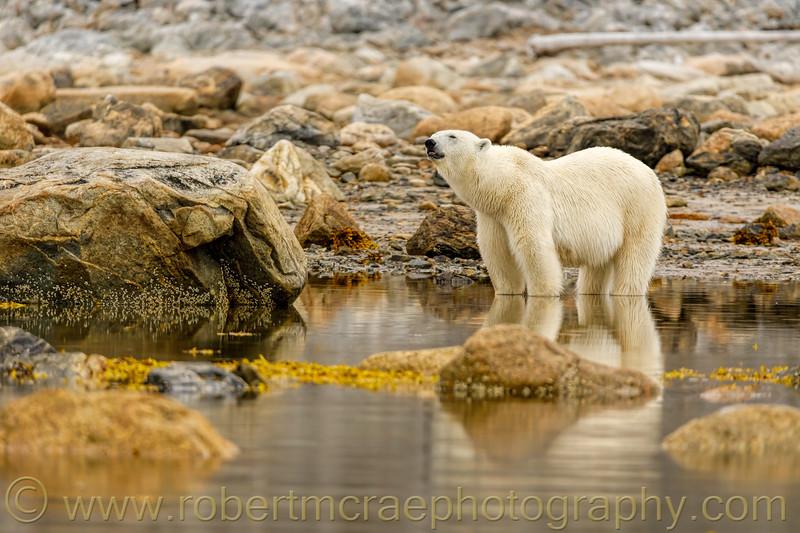 Female Polar Bear hunting for seals.