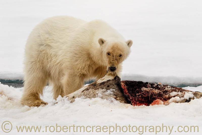 Female Polar Bear on the pack ice feeding on a Bearded Seal.