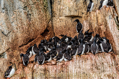 Thick-billed Murres nesting.on the bird cliffs at Fanshawe.