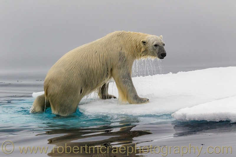 Polar Bear climbing onto pack ice.