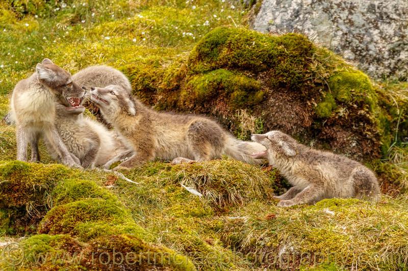 Arctic Fox vixen and begging kits.