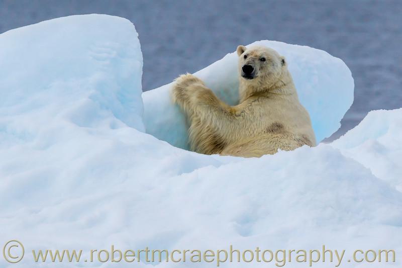 Large male Polar Bear on pack ice above 82 degrees longitude.