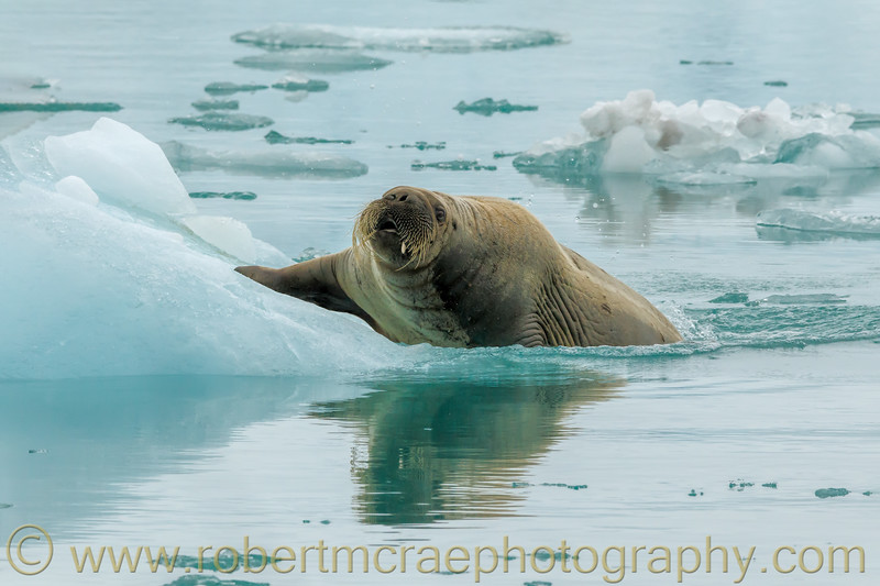 Young Walrus enters the  water.