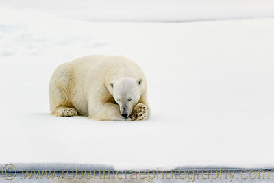 Polar Bear on pack ice sleeping.