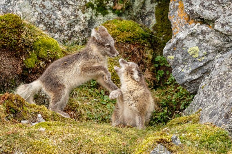 Arctic Fox kits play