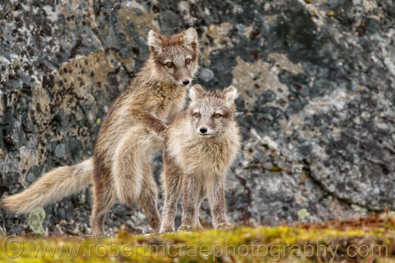 Arctic Fox kits at play