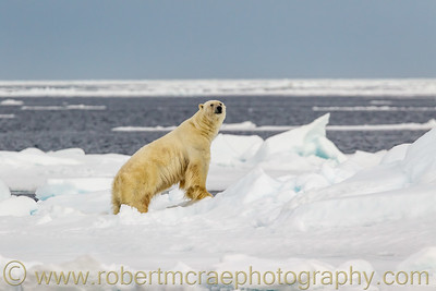 Large male Polar Bear