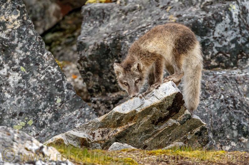 Arctic Fox kit investigates.