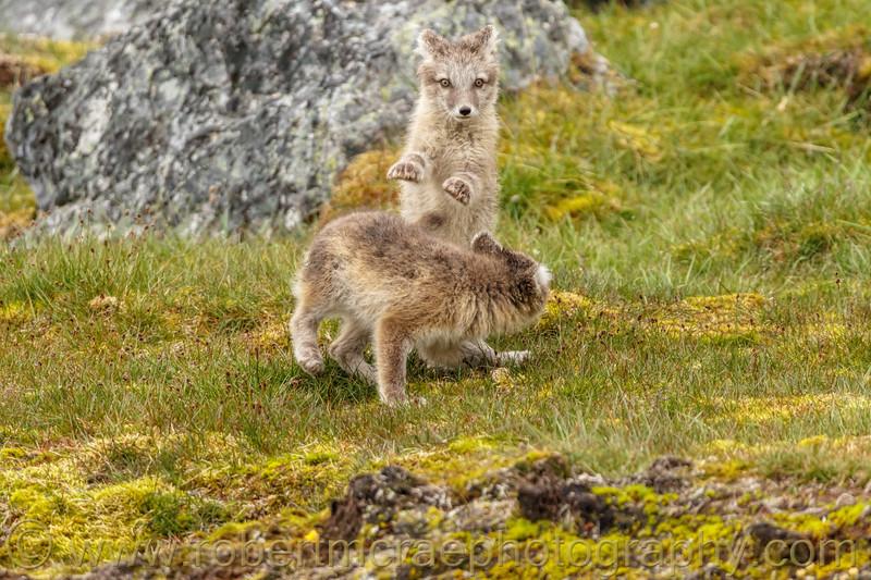 Arctic Fox kits at play