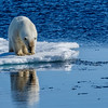Polar Bear on pack ice reflection.