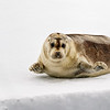 A young Bearded Seal