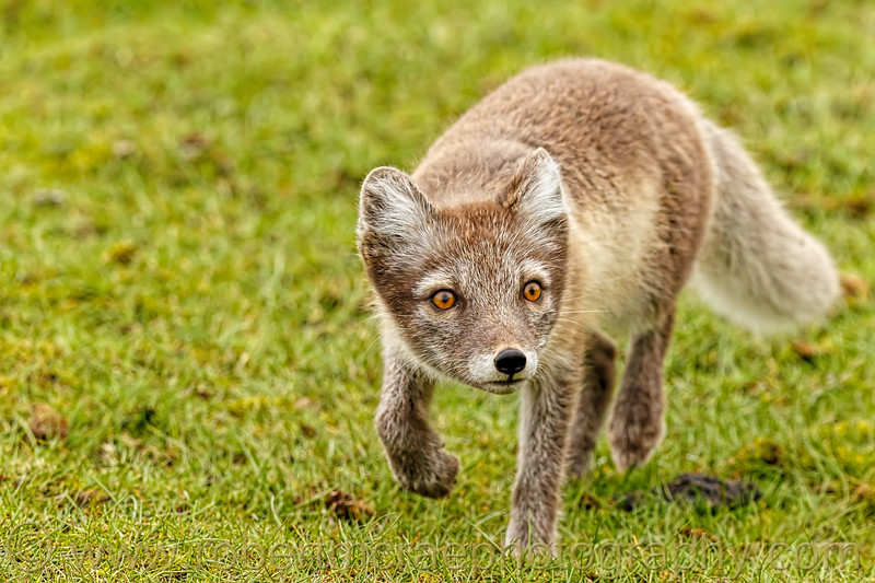 Arctic Fox vixen