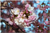 Cherry Blossoms frame - 11