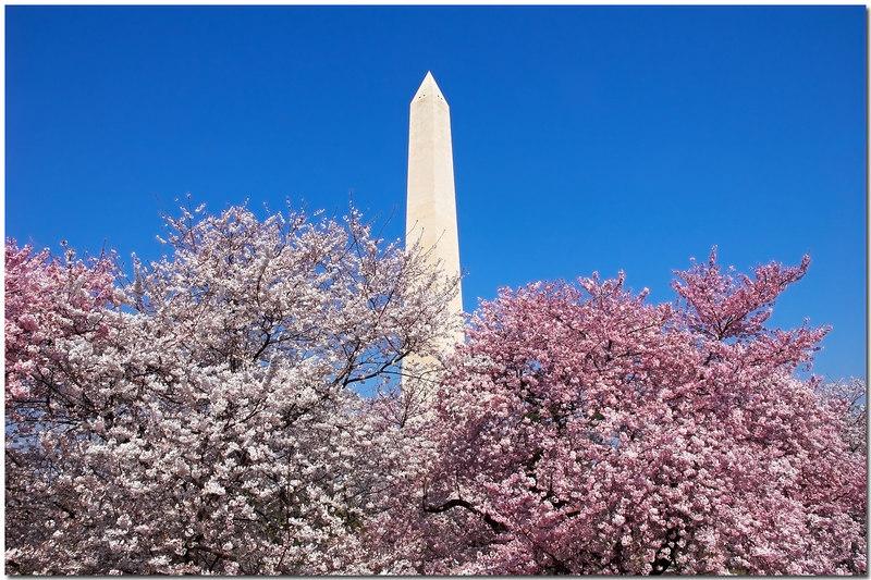 Cherry Blossoms frame - 21