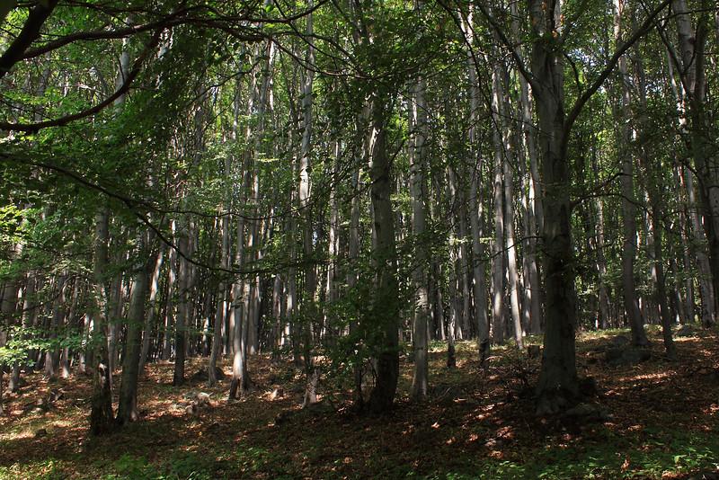 Beech Forest — Bükkös