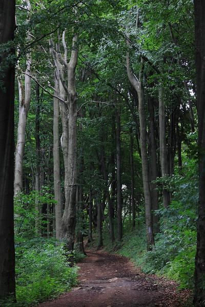 Beech Trees on Galyatető — Bükkfák Galyatetőn