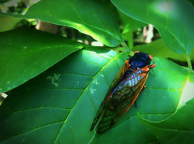 Magicicada septemdecim (17-year periodical cicada), Brood II, 2013, Fort Lee Historic Park, New Jersey  iPhoneography  Magicicada septendecim (17-year periodical cicada), Brood II, Fort Lee Historic Park, New Jersey. This insect has the longest life span of any other. Although some 2500 known species of cicada can be found the world over, the periodical cicada is unique to the eastern United States.  Read more about the emergence of the 17-year cicada in the NYC area: http://www.examiner.com/article/periodically-yours-command-performance-of-the-brood-ii-17-year-cicada?cid=db_articles