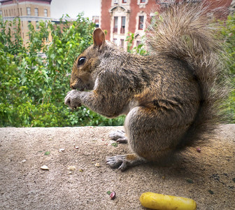 Percy, my summer guest, enjoys yellow carrots, red popcorn and sunflower seeds.