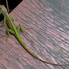 Green Lizard, Barbados