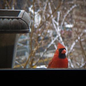 Cardinal outside the window