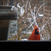 Cardinal outside the window