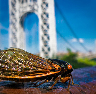 """Periodical """"17-year"""" cicada, at the George Washington Bridge  Magicicada septendecim (17-year periodical cicada), Brood II, Fort Lee Historic Park, New Jersey. This insect has the longest life span of any other. Although some 2500 known species of cicada can be found the world over, the periodical cicada is unique to the eastern United States.  Read more about the emergence of the 17-year cicada in the NYC area: http://www.examiner.com/article/periodically-yours-command-performance-of-the-brood-ii-17-year-cicada?cid=db_articles"""