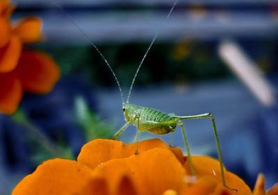 Tiny October grasshopper on a marigold in Convent Garden, Sugar Hill, Harlem, NYC