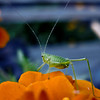 Tiny October grasshopper on a marigold in Convent Garden, Sugar Hill, Harlem, NYC