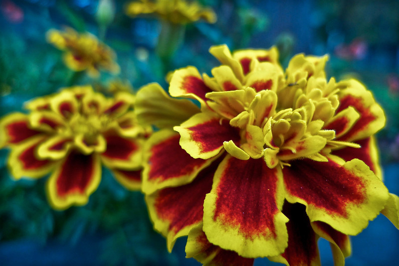 Red & yellow marigolds, Trinity Church Cemetery & Mausoleum, NYC