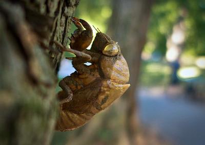 Benign monster, evacuated cicada exoskeleton, Central Park