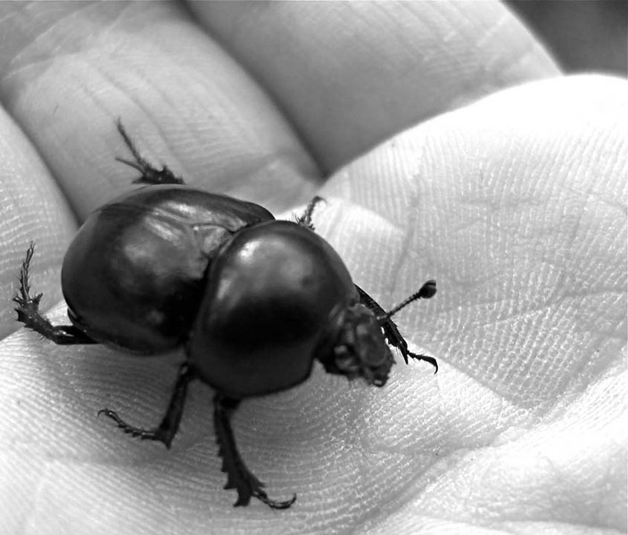Ground Beetle (Scarabaeidae), Franchard Gorges of the Fontainebleau Forest, Seine-et-Marne, France