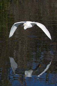 Snowy Egret (Egretta thula) in flight