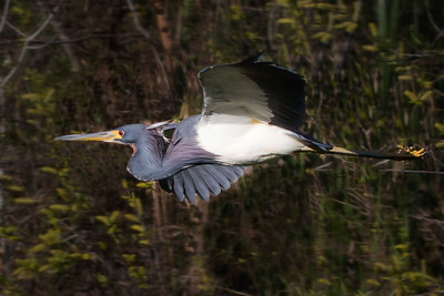 Tricolored Heron (Egretta tricolor) in flight