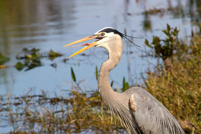 Great Blue Heron with tongue extended
