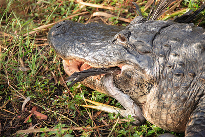 American Alligator Eating Blue Heron