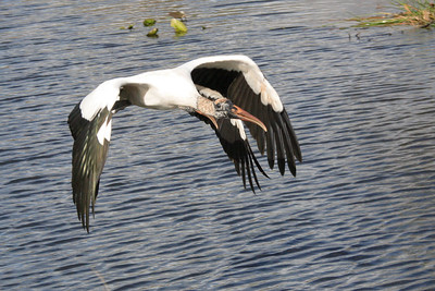 Wood stork Mycteria americana-in flight