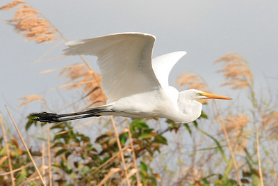 Great egret Ardea alba - in flight