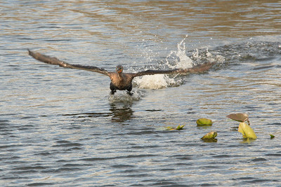 Anhinga take off from water