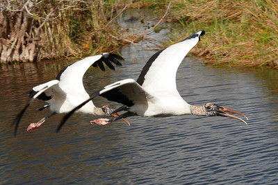 Wood stork Mycteria americana - pair in flight