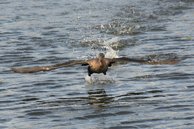 Cormorant  take off from water