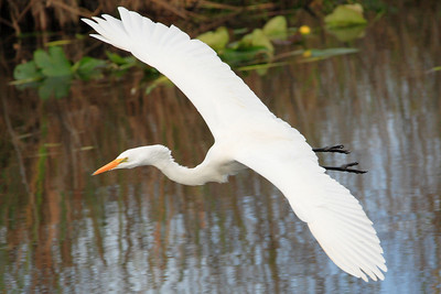 Great egret Ardea alba-in flight