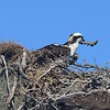 Osprey building nest