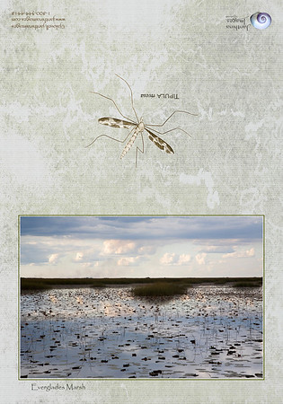 Everglades Marsh Card: A late day image of an everglades marsh setting. The flora includes lily pads and marsh grasses; the still water reflects a sky with clouds pinked by the late day sun with bands of rain clouds gathering. A Tipula insect decorates the back representing the water bugs which dance on the surface tension of the water at times.