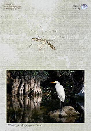 White Egret-Big Cypress Swamp: Depicts a White Egret in a serene, swampy environment lit by the early morning sun with beautiful reflections in the still water. The Tipula insect decorates the back representing the water bugs moving along of the water's surface in such scenes.