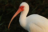 White Ibis, Anhinga Trail, Everglades NP, FL