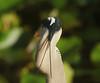 Great Blue Heron, Anhinga Trail, Everglades NP (2)